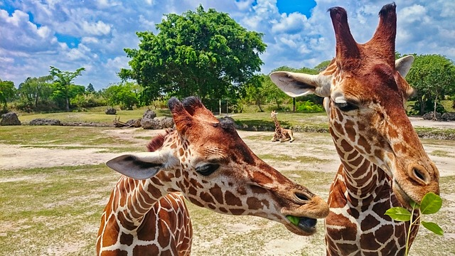 Giraffes eating leaves at Zoo Miami